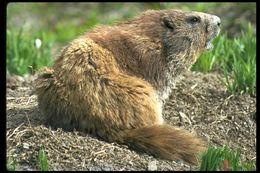 Image of Olympic Marmot