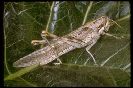 Image of Gray Bird Grasshopper