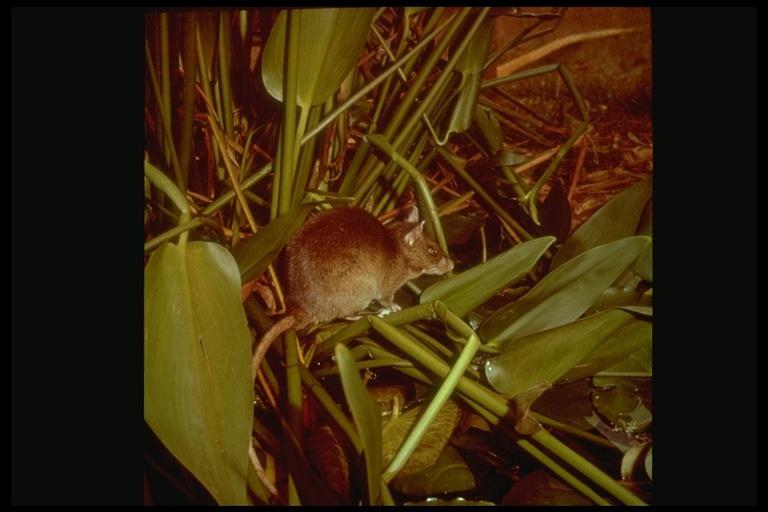 Image of Gambian Rat