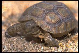 Image of desert tortoise