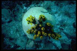 Image of Yellow tube sponge