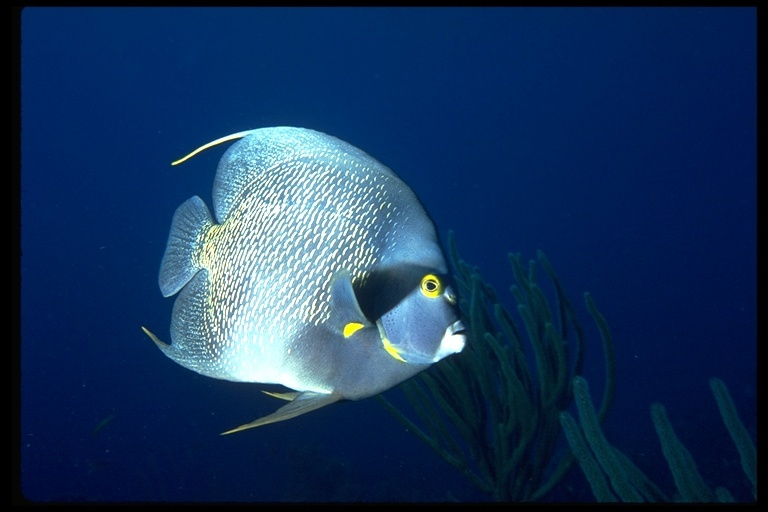 Image of Angelfish