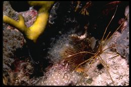 Image of Stenorhynchus