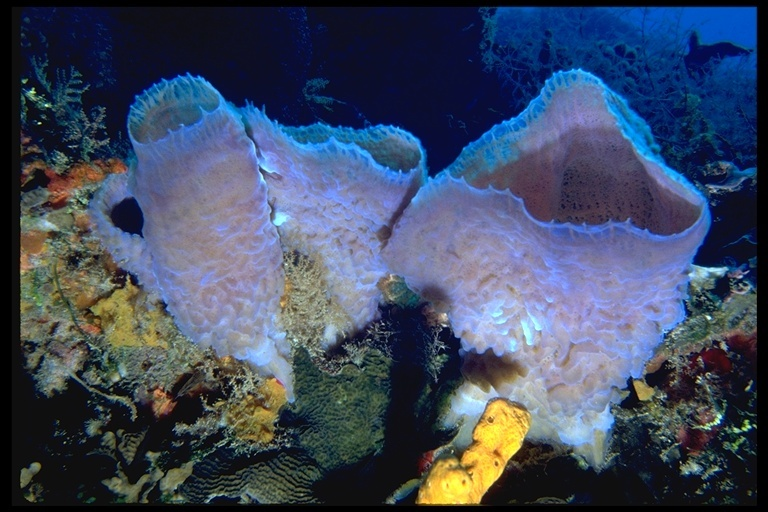 Image of <i>Callyspongia</i> (<i>Cladochalina</i>) <i>plicifera</i> (Lamarck 1814)