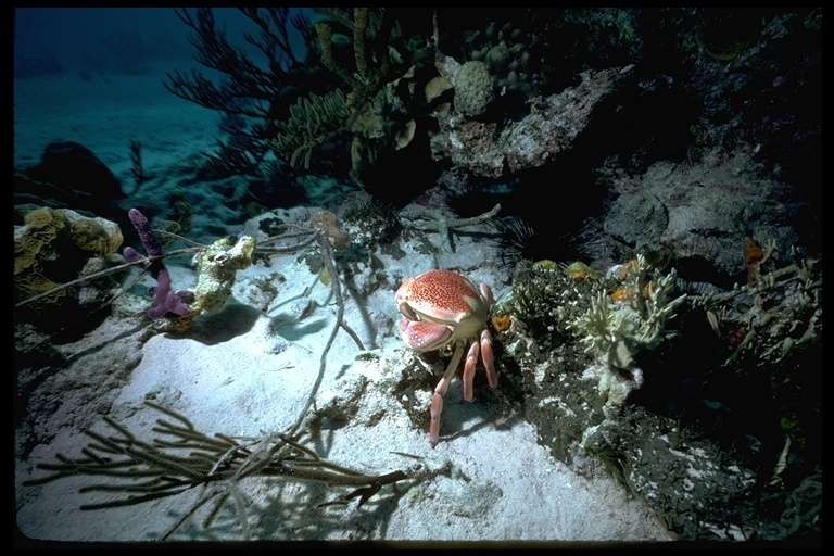 Image of batwing coral crab