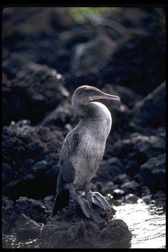 Image of Flightless Cormorant