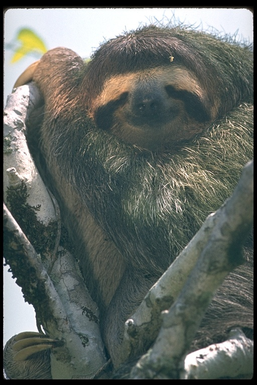 Image of pale-throated sloth