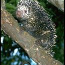 Image of Prehensile-tailed porcupine