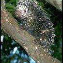 Image of Brazilian Porcupine