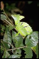 Image of Green basilisk