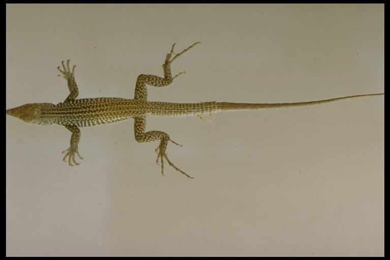 Image of <i>Aspidoscelis tigris</i> (Baird & Girard 1852)