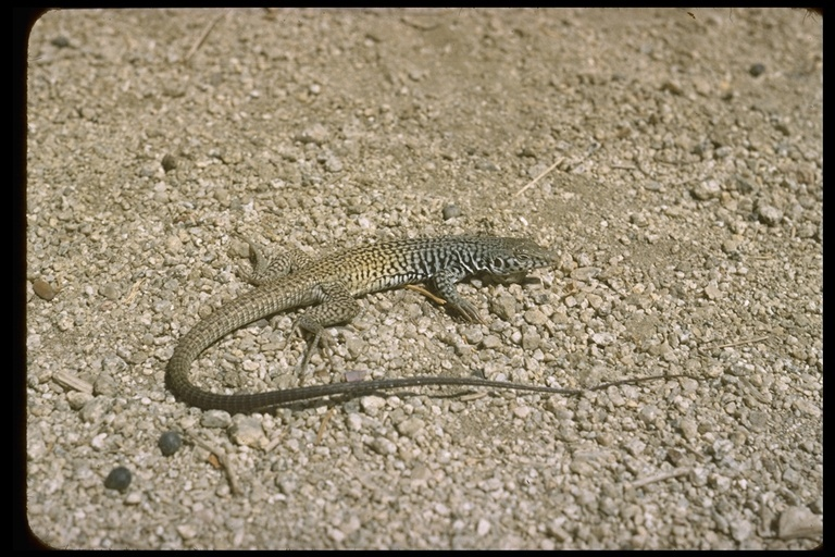 Image of Tiger Whiptail