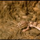 Image of Western banded gecko