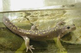 Image of <i>Paradactylodon persicus</i> (Eiselt & Steiner 1970)
