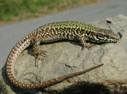 Image of Common wall lizard