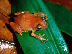 Image of Montane Dink Frog