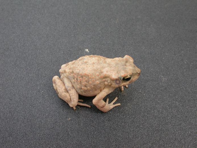 Image of Dodson's Toad