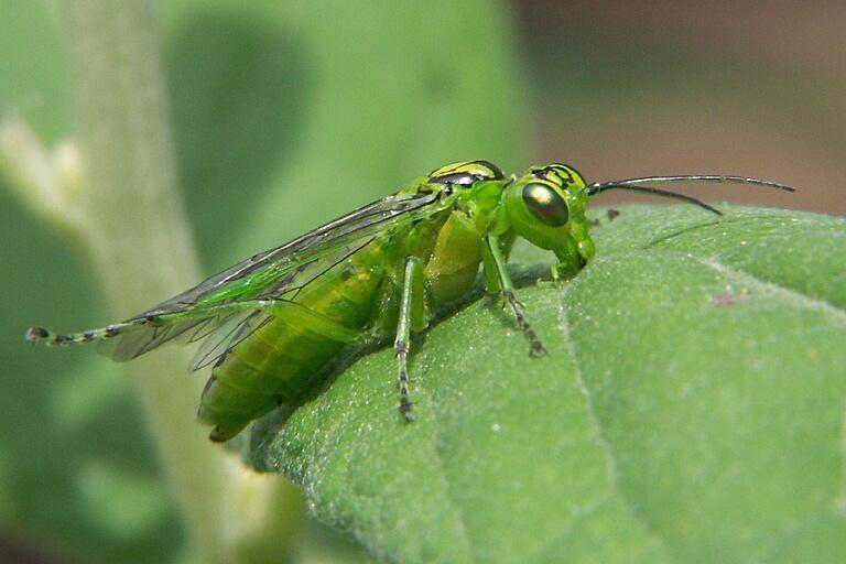 Image of <i>Rhogogaster viridis</i> (Linnaeus 1758) Linnaeus 1758