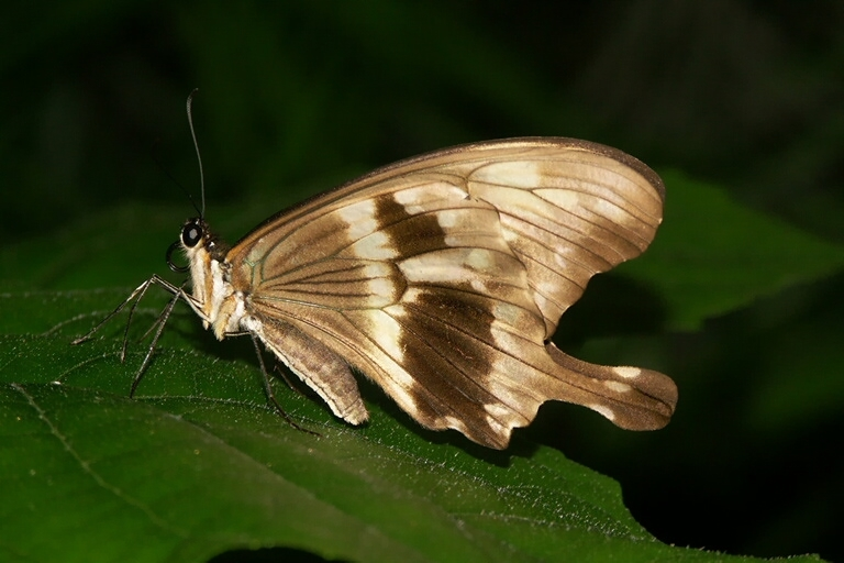 Image of African Swallowtail