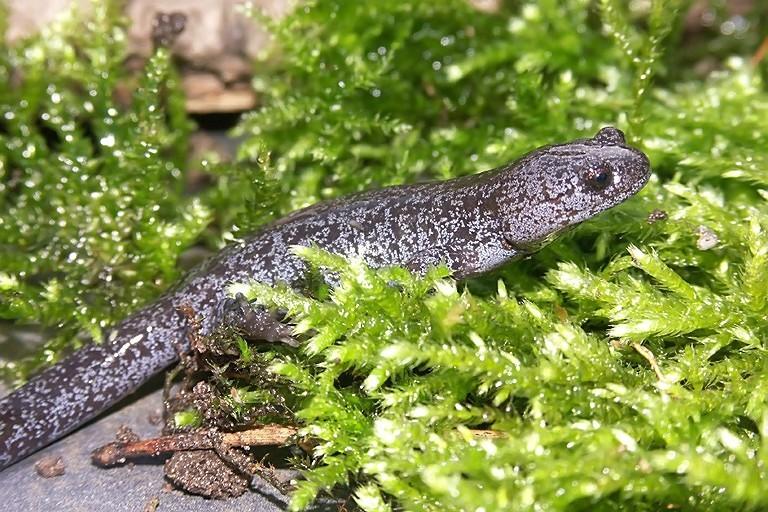 Image of Japanese Black Salamander