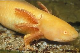 Image of Axolotl