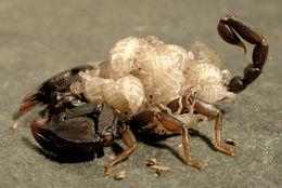 Image of <i>Euscorpius italicus</i> (Herbst 1800)