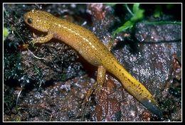 Image of Tsushima Salamander