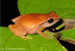 Image of Forester's Cabin Robber Frog