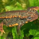 Image of Sword-tailed Newt