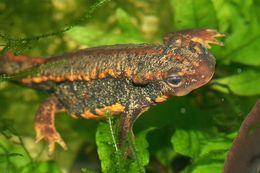 Image of Brown newt