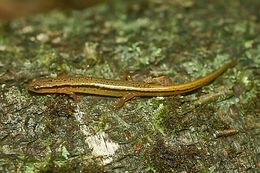 Image of Northern Two-lined Salamander