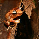 Image of Forest Coqui
