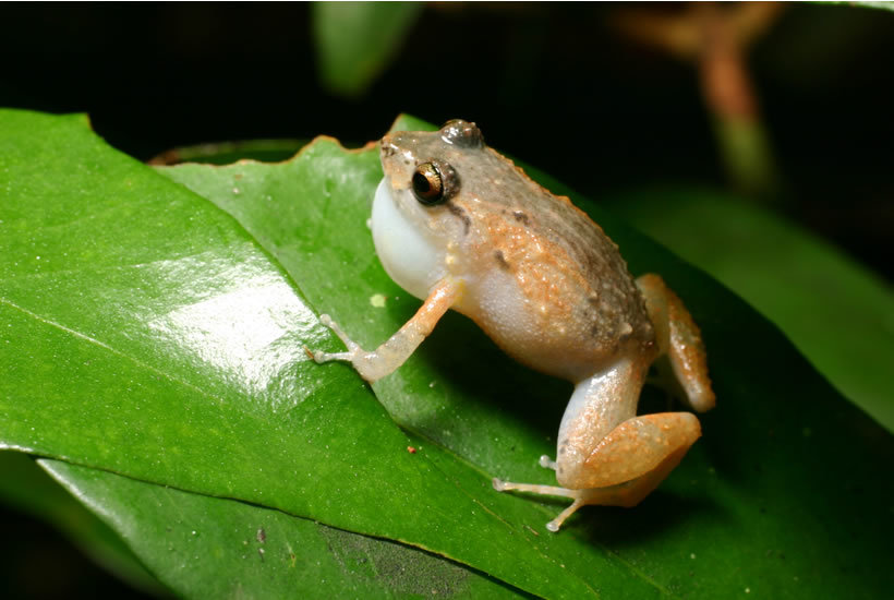 Image of Coqui Melodioso