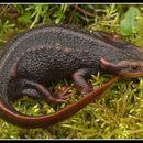 Image of Himalayan newt
