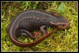 Image of Crocodile Newt