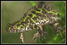 Image of Marbled Newt