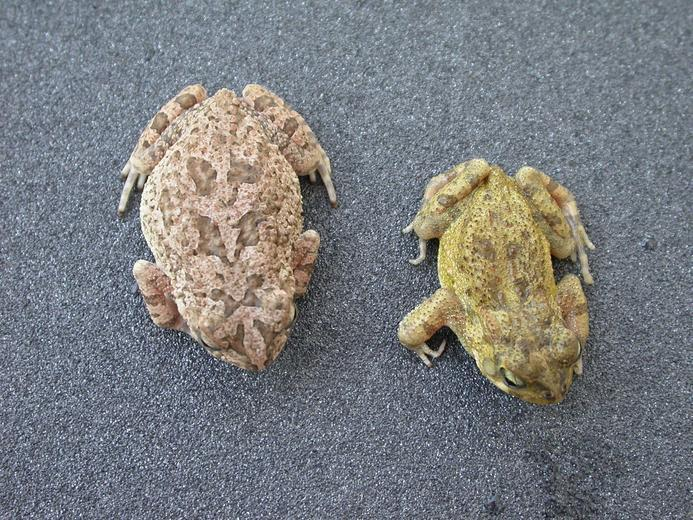Image of Flat-backed Toad