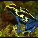 Image of Blue poison-dart frog