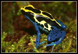 Image of Blue poison-dart frog