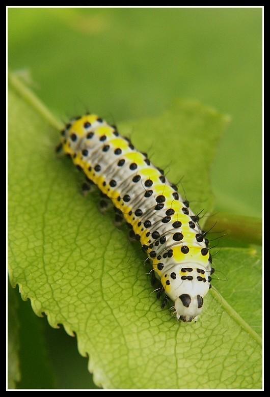 Image of <i>Diloba caeruleocephala</i> Linnaeus 1758