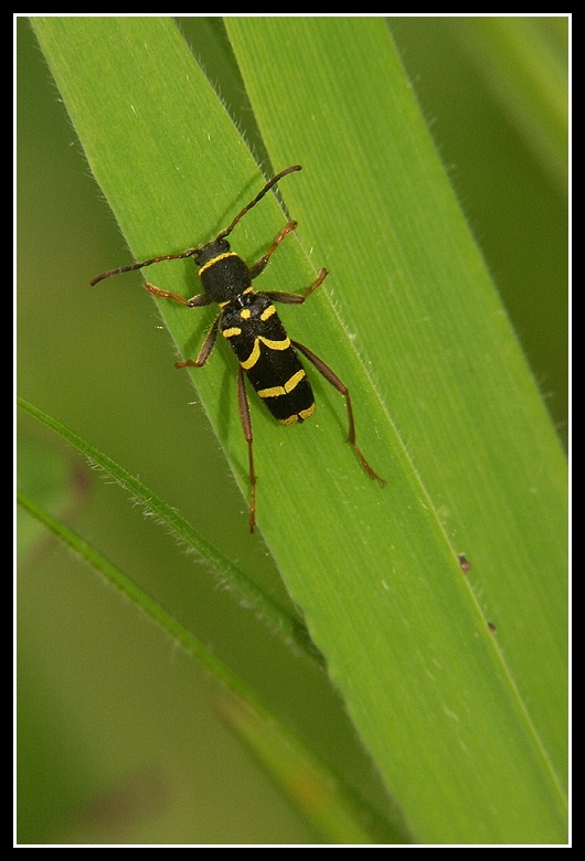 Image of Wasp beetle