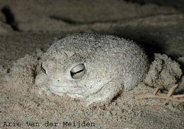Image of Desert Rain Frog