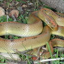 Image of Aurora House Snake