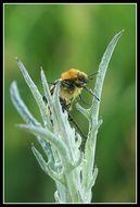 Image of Bee beetle