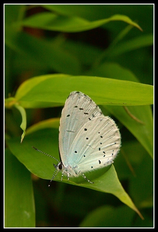 Image of Holly Blue