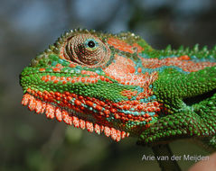 Image of Cape dwarf chameleon