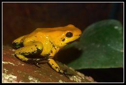 Image of Golden Poison Frog