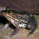 Image of Carpenter Frog