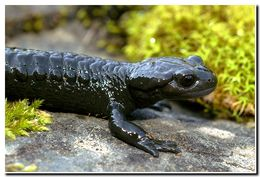 Image of Golden alpine salamander