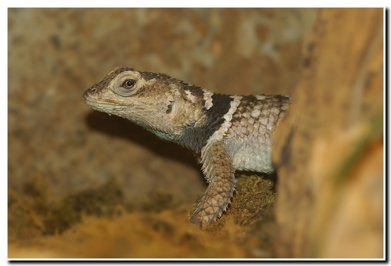 Image of Desert Spiny Lizard